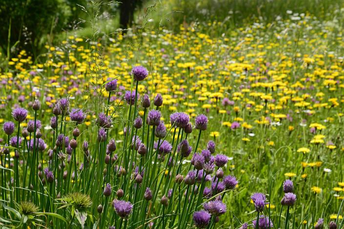Ferienwohnungen Döllerer Reit im Winkl, blühender Schnittlauch und Blumenwiese